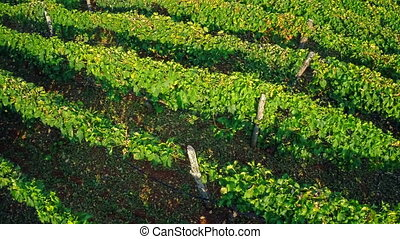 Vineyard rows aerial - Copter aerial view of the green...