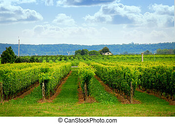 Vineyard - Rows of grape vines in a field