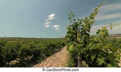 Vineyard - Rows of grapevines in the vineyard. Ukraine,...