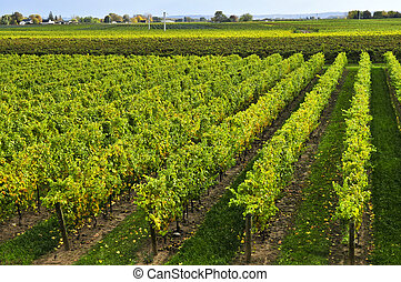 Vineyard - Rows of young grape vines growing in Niagara...