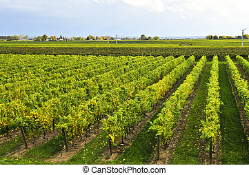 Vineyard - Rows of young grape vines growing in Niagara ...