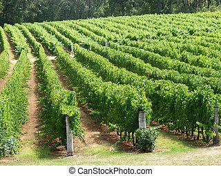 Rows at a vineyard/winery