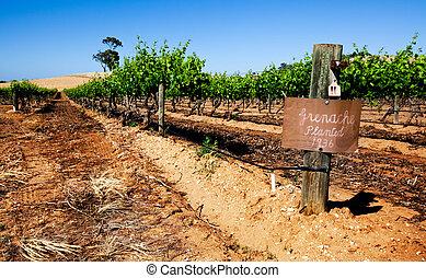 Vineyard Scene - Vineyard in the Barossa Valley, SA