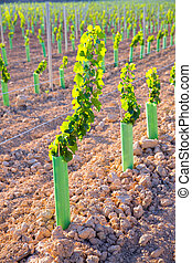 Vineyard sprouts baby grape vines in a row