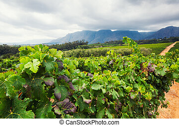 Vineyard - Stellenbosch, Western Cape, South Africa