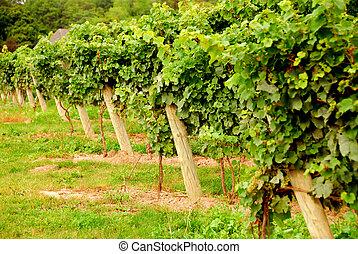 Vineyard - Rows of green vines
