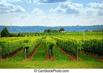 Vineyard - Rows of grape vines in a field