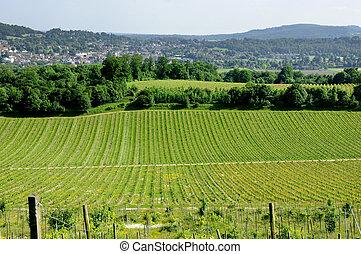Vineyard - Denbies Wine Estate, Surrey, UK