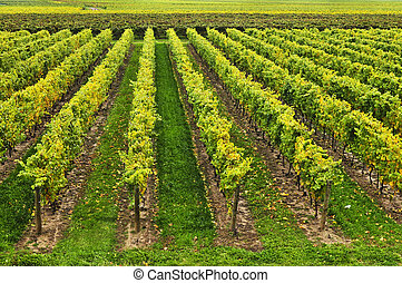 Vineyard - Rows of young grape vines growing in Niagara...