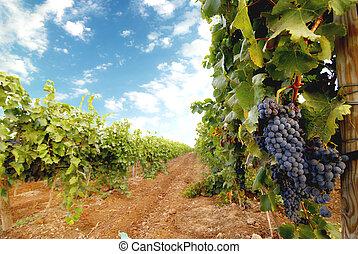 Vineyard - close-up of a beautiful vineyard