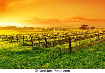 Vineyard Sunrise - Vineyard in the Barossa Valley