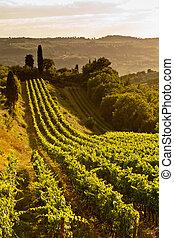 Vineyard Tuscany - A vineyard on a tuscany hillside. Rows of...
