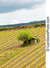 Vineyard with a small farmhouse in Montalcino, Val d'Orcia,...