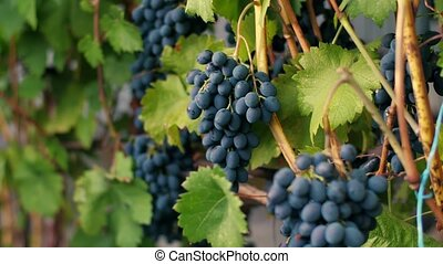 Beautiful vineyard with dark blue grape