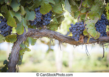 Lush, Ripe Wine Grapes on the Vine - Vineyard with Lush,...