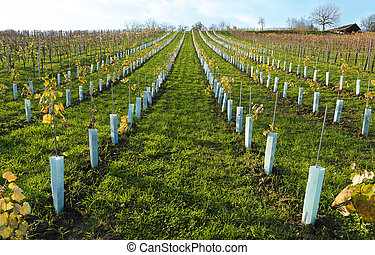 vineyard with protective plastic covers
