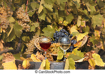 vineyard with red and white wine autumn season