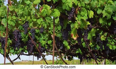 Vineyard with red grape - background of vineyard green rows...