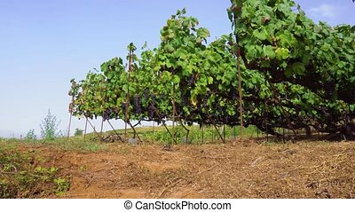 Vineyard with red grape - Vineyard green rows with growing...