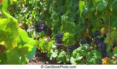 Vineyard with red grape - Vineyard green rows with ripe red...