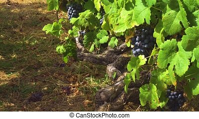 Vineyard with red grape - Vineyard old vine with growing...