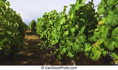 Vineyard with red grape - Vineyard old vines with growing...
