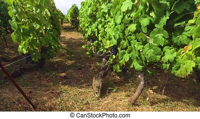 Vineyard with red grape - Vineyardold vines with growing...