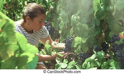 Vineyard with red grape - Woman checking grape in Vineyard...