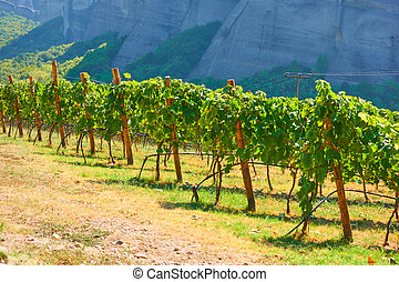 Vineyard with ripe grapes in countryside on sunny summer day...