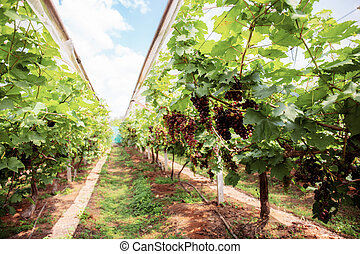 Vineyard with ripe grapes in Thailand.
