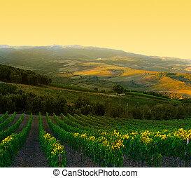 Vineyard with ripe purple grapes at sunrise in Tuscany, ...