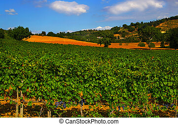 Vineyard with ripe red grapes, and blue sky