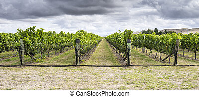 Vineyard with ripe red grapes