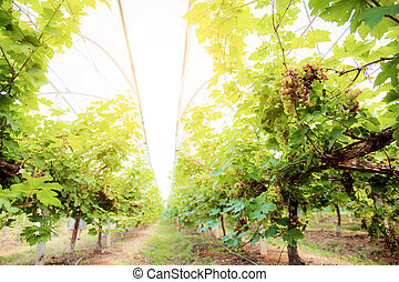 Vineyard with the sunlight.