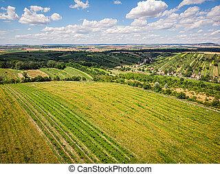 vineyard with white wine