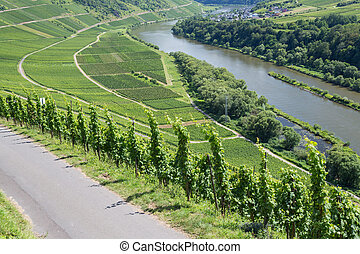 Vineyards along the river Moselle in Germany - Vineyards...