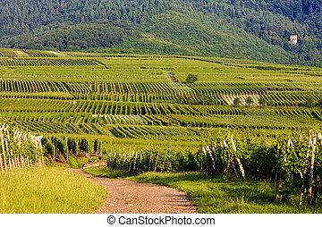vineyards, Alsace, France