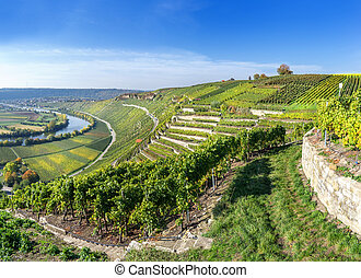 Vineyards at the Neckar - Vineyards at the river Neckar in...