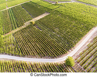 Vineyards in Eguisheim, Haut-Rhin, Grand Est, France