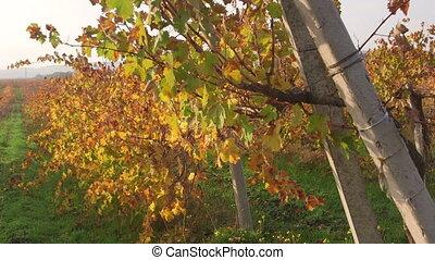 Vineyards in fall near Inkerman