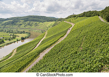 Vineyards in Germany along river Moselle