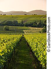 Vineyards in later afternoon light, Pfalz, Germany