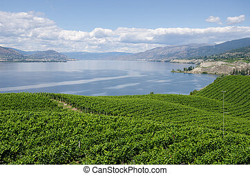 Vineyards on the Naramata Bench overlooking Okanagan Lake in British Columbia