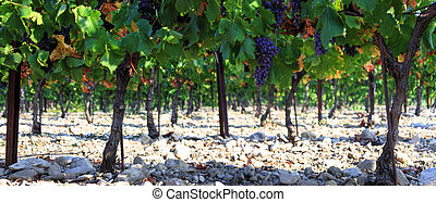 Vineyards in Provence in the South of France