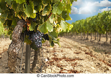 Vineyards in rows and blue sky - Vineyards in rows and...