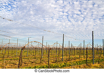 Vineyards in spring