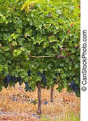 Vineyards in Stellenbosch, Western Cape, South Africa....