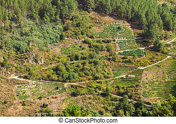 vineyards in the canyon of the sil, sacred riverbank in ourense, galicia, spain