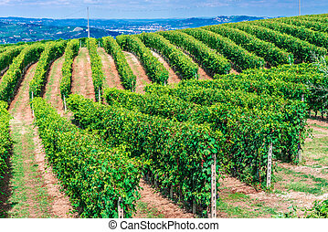 Vineyards in the Province of Cuneo, Piedmont, Italy