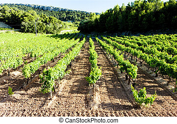vineyards near Gigondas, Provence, France
